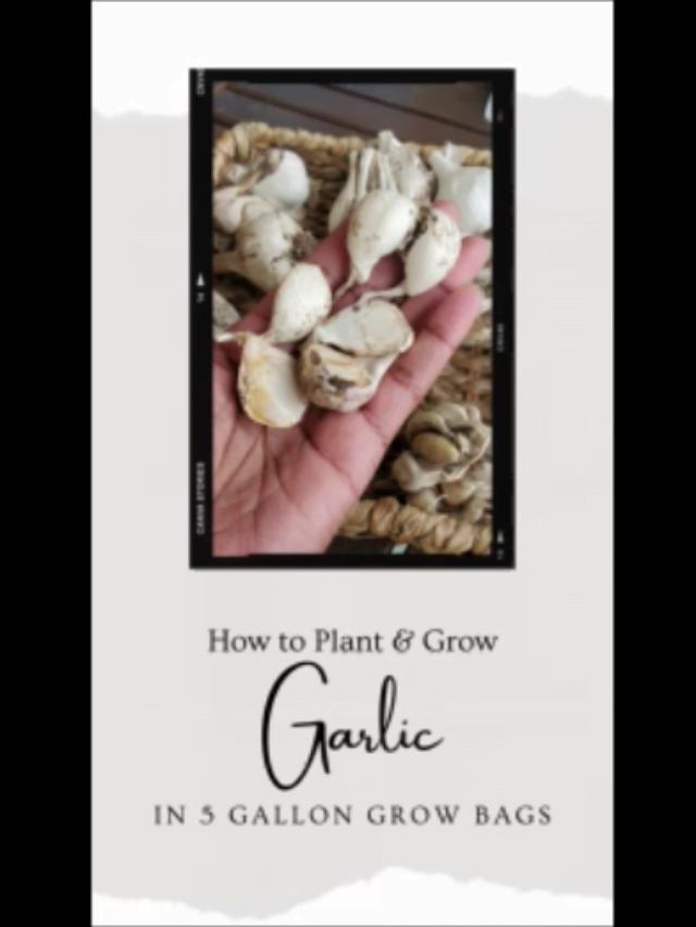 How to plant & grow garlic in containers